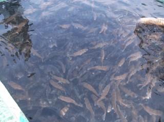 串本カセ釣り組合でマダイの稚魚約2万匹、イシダイの稚魚1500匹を放流しました。早く大きくなってお客様の皆様に釣ってもらいたいです(^^♪  (1) (1024x764)