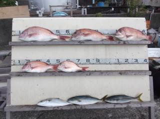 9月14日 名古屋 杉本氏 30-55? 5匹 ツバス 3匹 (センカイカセ) (1024x764) (2)